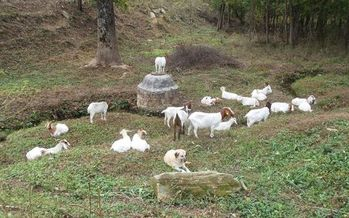 PHOTO: These goats (and a canine friend) are taking a break on a big job. Wells Farm rents them out to help eradicate invasive kudzu on protected lands. Photo courtesy of Pacolet Area Conservancy.