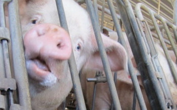 PHOTO: The Humane Society of the United States is calling for greater protections for livestock on farms, in North Carolina and the rest of the country. The group says this year, more than 400,000 animals have died in fires on large, industrial farms. Photo courtesy of HSUS.