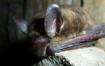 PHOTO: Halloween wraps up National Bat Week. The northern long-eared bat, found in Arkansas, has been proposed for an Endangered Species Act listing. Credit: StevenThomas/National Park Service