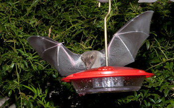 PHOTO: Bats are helpful to Arizona farmers and people in general, despite being a mainstay among the Halloween creatures that may cause fear in some people. Photo courtesy of the U.S. Fish and Wildlife Service.