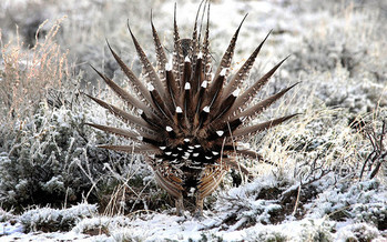 PHOTO: A new National Wildlife Federation poll shows a majority of sportsmen in 11 western states are in favor of protecting the greater sage grouse. Photo credit: U.S. Fish and Wildlife Service.