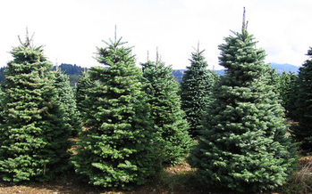 PHOTO: When it comes to Christmas trees, the trend in recent years has been an uptick in folks choosing