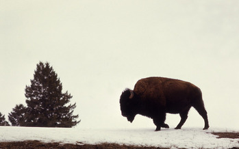 PHOTO: It's the last day for Montanans to add their thoughts to the latest alternative for the year-round bison habitat plan. Photo courtesy of National Park Service.