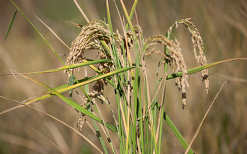 PHOTO: Rice growing in a field. The California Air Resources Board is considering the state's first agricultural protocol for the cap and trade program. It would allow rice farmers to generate offsets to sell in California's carbon market, providing a new source of revenue for growers while contributing to the state's clean-air goals. Photo credit: Matthew Grimm, Environmental Defense Fund.