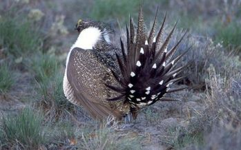 PHOTO: A one-year delay in a decision about whether the greater sage grouse is listed under the Endangered Species Act has been hotly debated, ever since the extension showed up as a rider in the federal spending bill. Photo courtesy of the National Park Service.