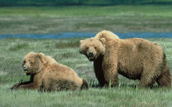 PHOTO: Federal approval for the killing of up to 15 grizzly bears in two areas of northwestern Wyoming is going too far, according to a planned lawsuit to protect the grizzlies. Photo credit: Chris Servheen/U.S. Fish and Wildlife Service
