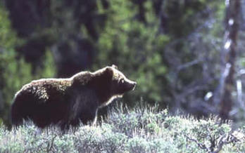 PHOTO: A decision to allow up to 15 grizzly bears to be killed in Grand Teton National Park and the Upper Green River area is at least 15 too many, according to paperwork filed for a lawsuit. Photo courtesy of the National Park Service.