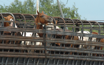 PHOTO: The Humane Society of the United States wants Congress to ban the sale and transportation of horses abroad for human consumption such as these being moved into Mexico. Photo courtesy Kathy Milani/The HSUS.