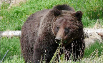 PHOTO: A grizzly bear is a rare sight, and even rarer in the North Cascades, where the last reported sighting was in 2010. Federal agencies are seeking public input as they determine how to increase grizzly numbers in an area that used to be prime habitat for the bears. Photo courtesy Washington Dept. of Fish and Wildlife