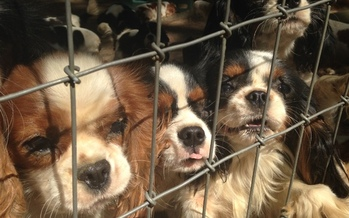 PHOTO: These puppies were found at a farm owned by an American Kennel Club Breeder of Merit, and were allegedly suffering from health problems, overcrowding and unsanitary conditions at the time this photo was taken. Photo credit: Humane Society of the United States.