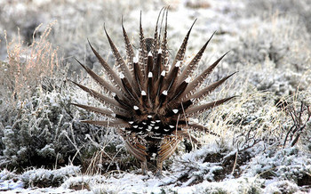 PHOTO: At a national wildlife conference this week in Nebraska, states such as Colorado can tout their progress in restoring sage-grouse habitat on private and public land. Photo courtesy U.S. Fish and Wildlife Service.