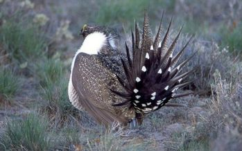 PHOTO: Efforts involving ranchers, conservationists and government agencies continue in Nevada and other Western states to improve enough habitat to avoid having the sage-grouse listed as a threatened or endangered species. Photo credit National Park Service.