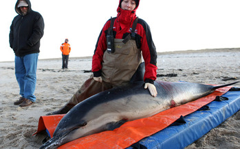 PHOTO: Hundreds of marine mammals are stranded on beaches in Massachusetts and around the country, and groups are asking Congress to restore critical funding to rescue them. Photo credit: � J. Cumes/Int'l. Fund for Animal Welfare