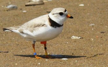 PHOTO: Thanks to a concerted recovery effort, experts now are optimistic about the future of the piping plover, birds who make their homes on Great Lakes beaches and are known for their cheerful chirp. Photo credit: Vince Cavalieri, U.S. Fish and Wildlife Service.