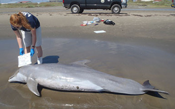 PHOTO: One thousand bottlenose dolphins have been found dead in an area stretching from the Florida Panhandle to the Texas-Louisiana border in the five years since the BP oil spill. Photo Credit: Courtesy Louisiana Department of Wildlife and Fisheries.