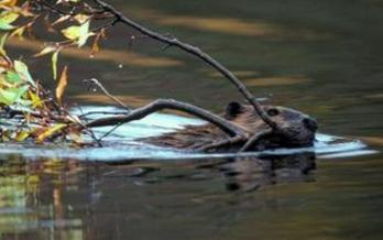PHOTO: Beavers are busy in the Snohomish watershed, as they're being relocated to higher elevations where their dam-building skills help moderate stream flow and provide better habitat for salmon and other fish. Photo courtesy Beavers Northwest.