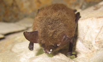 PHOTO: With a deadly fungal disease called white-nose syndrome decimating its numbers, the northern long-eared bat today officially becomes listed as a threatened species in North Dakota and across the country. Photo credit: University of Illinois/Steve Taylor/Flickr.