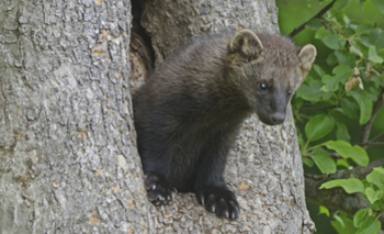 PHOTO:  The fisher is a medium-sized carnivore that is on the brink of extinction partly because of vehicle collisions. Californians can help biologists protect them by reporting roadkill to wildlifecrossing.net.