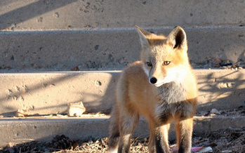 PHOTO: The CDC reports only one new strain of rabies has been discovered in the U.S. this past decade, that is until a woman in Lincoln County was attacked by fox with rabies last month. Photo credit U.S. Department of Defense.