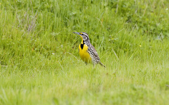 Visitors to Theodore Roosevelt National Park are expected to spot the western meadowlark this weekend during the park's 61st Annual Spring Birdwalk. Credit: Kevin Cole/Flickr.