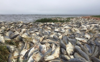 PHOTO: Local scientists say a massive fish kill this weekend on Long Island is another signal that more needs to be done to curb nitrogen pollution in local bays. Photo credit: Stephan Beaumont/Red Vault Productions.