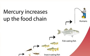 GRAPHIC: The U.S. Supreme Court delayed a rule to control mercury emissions from coal-fired power plants, although they let the rule stand while the EPA rewrites a portion of it. Mercury emissions typically enter the food chain through waterways. Graphic courtesy of the National Park Service.