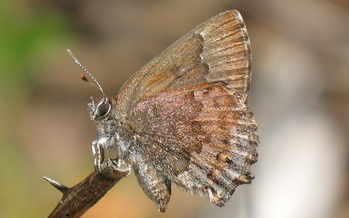 University of Florida research has found the state's rare frosted elfin butterfly population is threatened by controlled burns if those fires are not managed properly and holistically. Credit: Matt Thom, U.S. Dept. of Agriculture.
