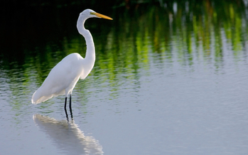 An egret rests in a marsh in the Everglades. A Florida real estate company has filed for a permit to build an exploratory oil rig on land it owns near Miramar. Credit: Floridastock/iStockphoto.com.