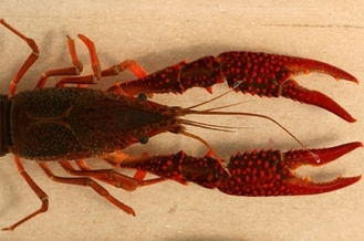 Red swamp crayfish, pictured here, recently were discovered near a popular fishing spot on Lake Macatawa in Ottawa County. Credit: Brome McCreary, U.S. Geological Survey.
