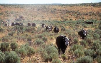 Oregon cattle ranchers and the Natural Resources Conservation Service are working together to prove that cows can coexist with sage-grouse and other high-desert wildlife. Courtesy: Oregon State University Extension Service.