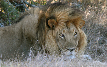 The Animal Rights Coalition wants an end to big-game hunts after the killing of a lion in Africa by a Minnesota big-game hunter. Credit: Matt MacGillivray/Flickr.