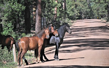 The fate of free-roaming horses on Arizona public lands could be decided with the release of two government studies expected soon. Credit: U.S. Forest Service.