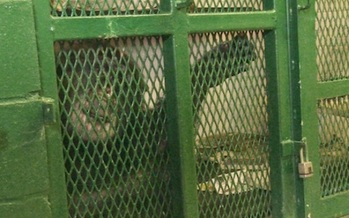 PHOTO: Animal rights organizations say chimpanzees are intelligent and self-aware, and are working to free them from research facilities. Photo courtesy of Nonhuman Rights Project.
