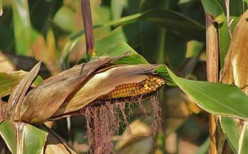 Indiana corn growers are taking a hit this year after rains dampened the planting season. Credit: butkovicdub/Morguefile.
