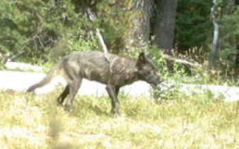 This gray wolf is part of the first known pack in California in almost 90 years. Credit: California Department of Fish and Game.