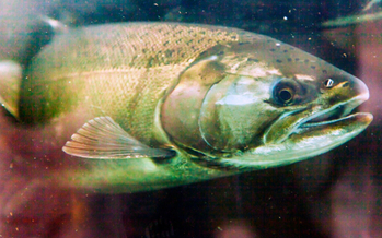 The Chinook salmon run won't dry out this summer, thanks to a court ruling this week. Credit: bpperry/iStock