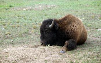 Montana Fish, Wildlife and Parks has researched the feasibility of restoring wild bison in the state and found it's a possibility. Credit: National Park Service