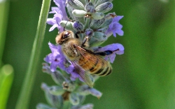 A federal court says the pesticide sulfoxaflor should not have been registered because it can kill bees and other pollinators. Credit: Deborah C. Smith.