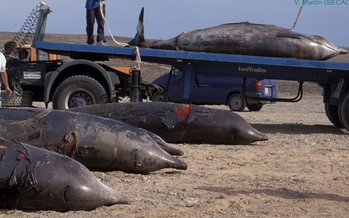 The Navy has agreed to limit sonar use to protect marine mammals from disorientation and harm. These whales beached themselves in the Canary Islands. Credit: Vidal Martin, Sociedad para el Estudio de los Cet�ceos en el Archipelago Canarias