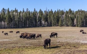 Bison in the Kaibab National Forest, part of the proposed Greater Grand Canyon Heritage National Monument. Credit: Michele Vacchiano/iStock
