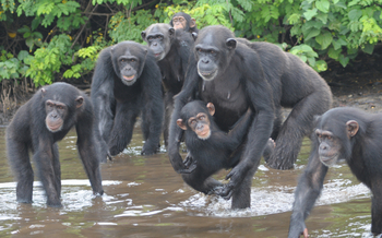 Chimpanzees, abandoned in Liberia, had been used for hepatitis research. Credit: Jenny Desmond/For The HSUS