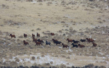 In the first week of its roundup of wild horses near Adel, Ore., the Bureau of Land Management corralled more than 400 of up to 1,500. Credit: Larisa Bogardus, BLM Lakeview District, on Flickr Creative Commons.