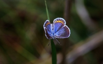 Minnesota's dwindling population of the Karner Blue butterfly soon could be gone, according to a new report. Credit: Endangered Species Coalition