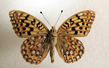 The Great Basin silverspot butterfly has been selected for a 12-month review for possible designation as an endangered species. (WildEarth Guardians)