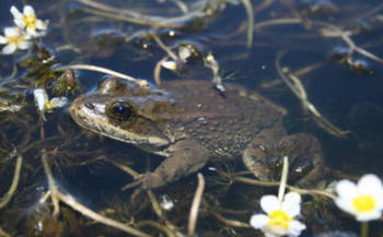 In Oregon, the spotted frog's range includes only a half-dozen counties and the species has long been considered a candidate for protection. (U.S. Fish and Wildlife Service)