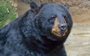 Theobromine, a chemical found in chocolate, can kill bears and other animals. (Greg Hume/Wikimedia)