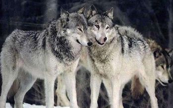 A petition is online to protect gray wolves on the perimeter of Yellowstone National Park. (Montana Fish, Wildlife and Parks)