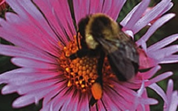 The boom in beekeeping prompted one Iowa bee enthusiast to create a new website to keep track of local laws on the topic. (Iowa Agriculture and Land Stewardship Office)