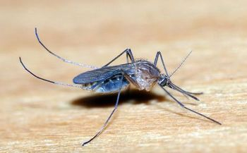 Public health officials say the Zika virus is transmitted by mosquitos. (Wikimedia Commons)