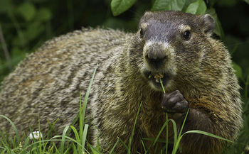 A new report takes a detailed look at important small mammal species, such as the groundhog, and the risks they face if climate action is not taken. (Groundhog/Wikimedia Commons)